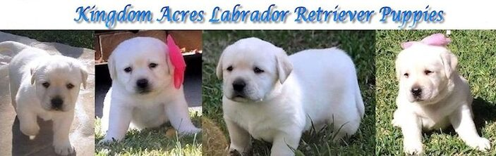 Cream and Whit Labrador retriever Puppies For Sale